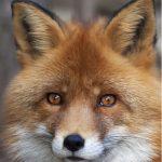 IAYC Fox